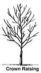 Crown Raise Tree Pruning Springfield MO - All About Trees