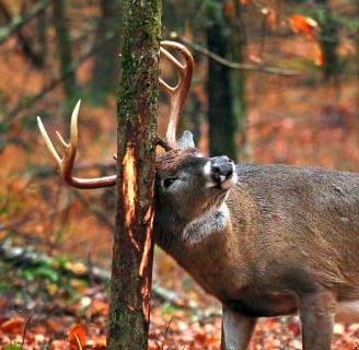 deer damage to tree